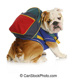 dog obedience school - english bulldog wearing blue shirt...