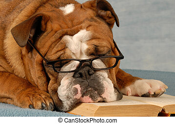 dog obedience school - english bulldog reading a novel