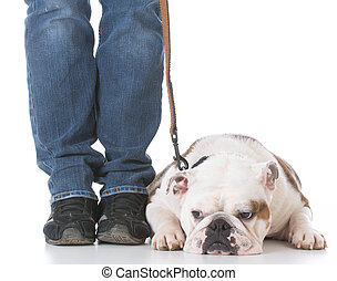 dog obedience training - dog working on a down on white...