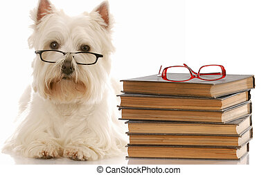 dog obedience - west highland white terrier laying down beside stack of books