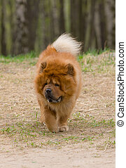 chow-chow - Dog of breed of a chow-chow on walk