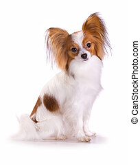 Dog of breed papillon isolated on a white background