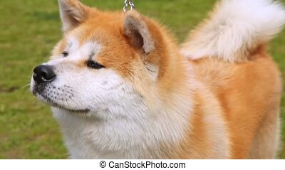 Dog of breed Shiba-inu stands on lawn with green grass