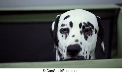 Dog of dalmatian breed moves its head and look around,...