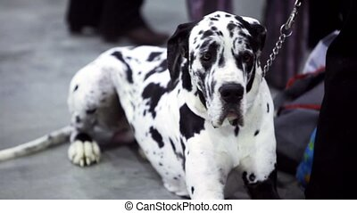 Dog of dalmatian breed sit on chain near his owner