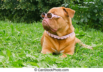 Dog of Dogue De Bordeaux breed wearing pink glasses and collar in summer garden