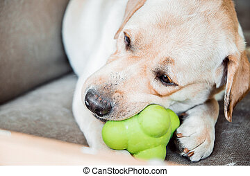 dog of labrador breed is biting a toy