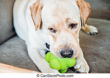 dog of labrador breed is chewing a toy