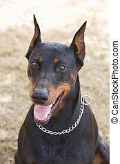 Photo of a black dog race doberman