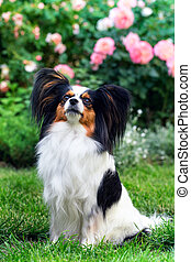 Dog of the breed Papillon in the garden