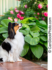 Dog of the breed Papillon