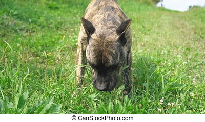 dog of the pit bull shape
