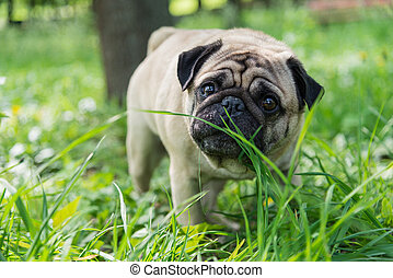 Dog of the Pug breed. The dog walks on the green lawn