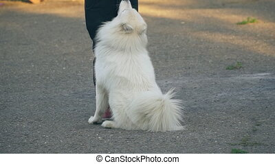 dog of the Samoyed - white Samoyed dog on the playground