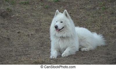 dog of the Samoyed - white Samoyed dog on the playground