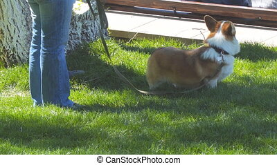 Dog of the Welsh Corgi breed in the park on the lawn on a leash