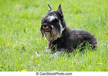 Dog of Zwergschnauzer