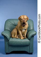 Dog on a arm-chair yawning