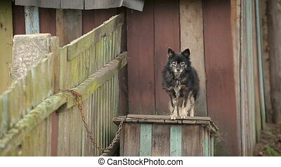 Dog on a chain around the booth at the backyard of a countryside household