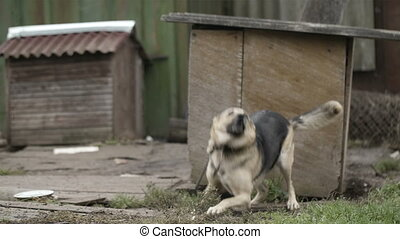 Dog on a chain catching food. - Dog on a chain running and...