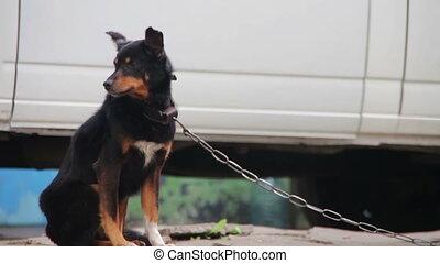 Dog on a Chain near Doghouse - Black Dog on a chain near...
