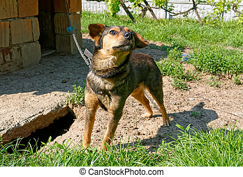 Dog on a chain - Cute lonely dog on a chain by the dirty...