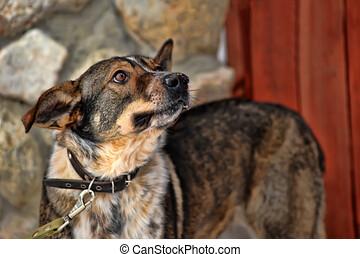 Dog on a leash. German, dogs.