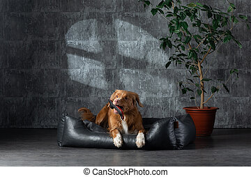 dog on a leather couch in a loft interior. Nova Scotia Duck Tolling Retriever is at home