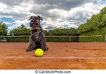 Dog on a tennis court with balls