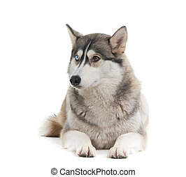 Dog on a white background.