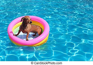 dog on airbed in the pool  - dog on airbed in the pool