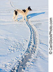 Dog on Olkhon - Dog in the snow. Olkhon