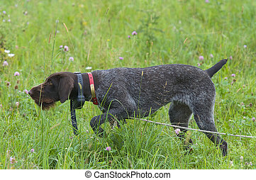 Dog on Point - German Wirehair or Drahthaar on Point