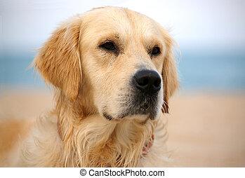 dog on the beach - golden retriever, close-up shot