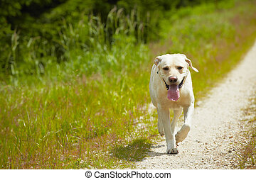 Dog on the road - Yellow labrador retriever is running on ...