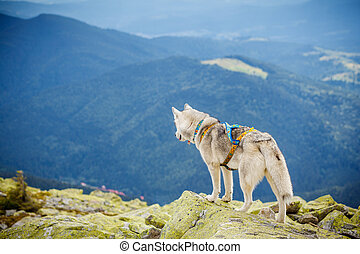 dog on the top of the mountain