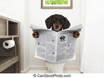 dachshund or sausage dog, sitting on a toilet seat with digestion problems or constipation reading the gossip magazine or newspaper