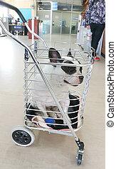 dog or French bulldog