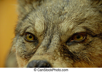 dog or wolf - beautiful eyes of a wild dog wolf: dangerous...