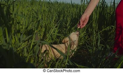 Dog owner feeding her adorable chihuahua in nature
