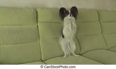 Dog Papillon amusingly stands on hind legs and looks around...