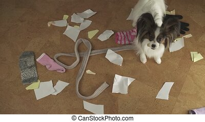 Dog Papillon arranged pogrom in the house scattered things...