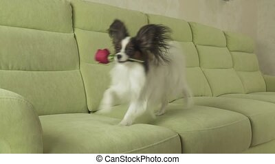 Dog Papillon carries red rose in his mouth in love on valentines day slow motion stock footage video