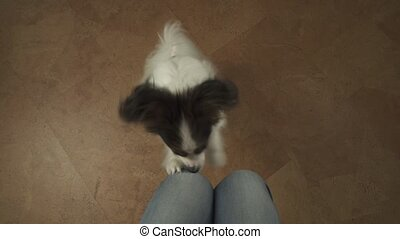 Dog Papillon claps his paws on the knees of his master...
