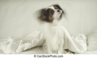 Dog Papillon crawls out from under blankets on the bed stock...
