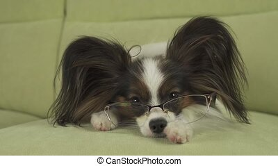 Dog Papillon dog in glasses lies on couch on his paws and...