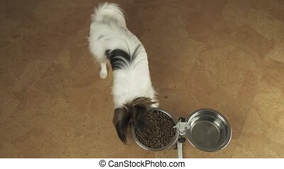 Dog Papillon eats dry food from a metal bowl on stand stock footage video