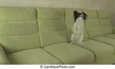 Dog Papillon funny jumping on his hind legs - Dog Papillon...