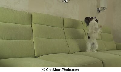 Dog Papillon funny jumping on his hind legs slow motion...