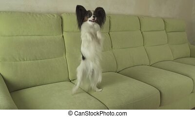 Dog Papillon funny jumping on his hind legs stock footage...